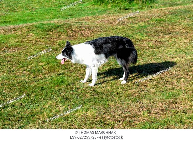 Border collie waits excited for a toy. Picture taken in the Bodmin Moor near Minions in Cornwall