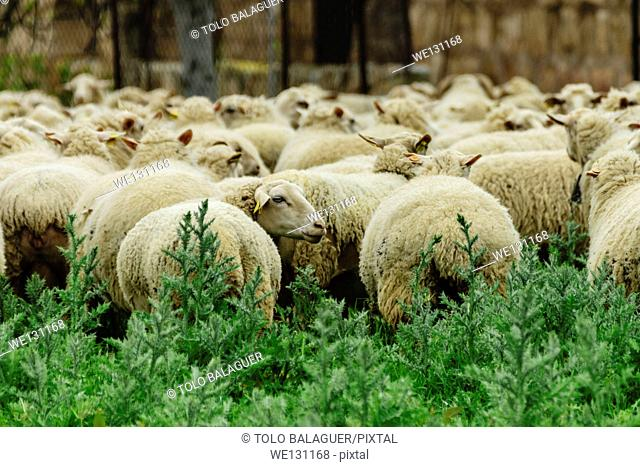 Flock of sheep, Son Ripoll Vell, Son Sardina, Palma. Majorca, Balearic Islands, Spain