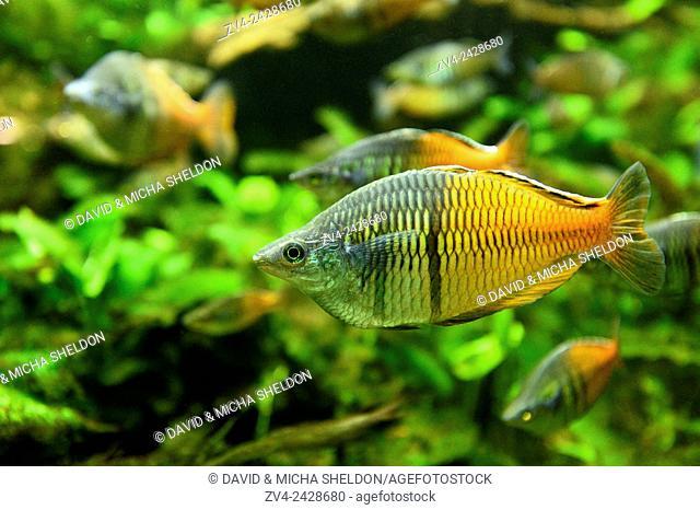 Close-up of Boeseman's rainbowfish (Melanotaenia boesemani) in an aquarium