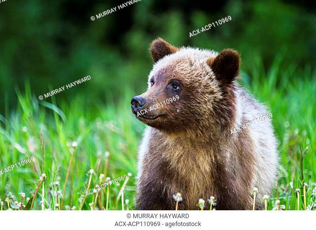 Grizzly Bear Cub (Ursus arctos horribilis) Cute Grizzly Cub feeding on grass and dandelions. Kananaskis, Alberta, Canada