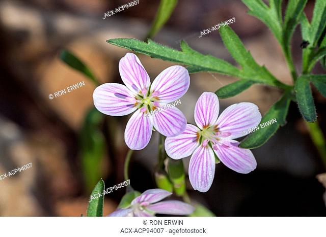 Narrow-leaved Spring Beauty (Claytonia virginica), Point Petre Provincial Wildlife Area, Prince Edward County, Ontario
