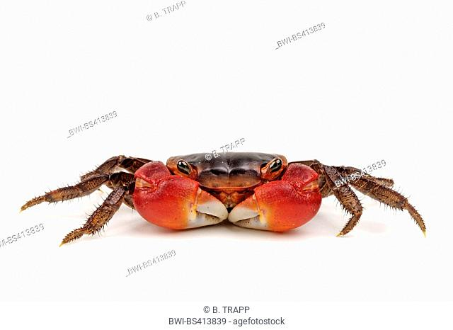 Red Apple Freshwater Crab, Red Apple Crab (Metasesarma aubryi), freshwater crab, cut-out
