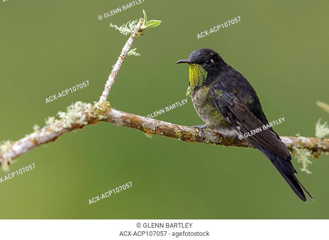 Black-backed Thornbill (Ramphomicron dorsale) perched on a branch in the mountains of Colombia, South America