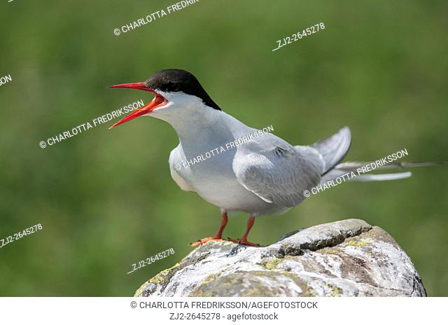 Arctic tern (Sterna paradisaea) perched on rock, the Farne Islands, United Kingdom