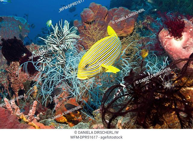 Yellow-ribbon Sweetlips in Coral Reef, Plectorhinchus polytaenia, Alam Batu, Bali, Indonesia