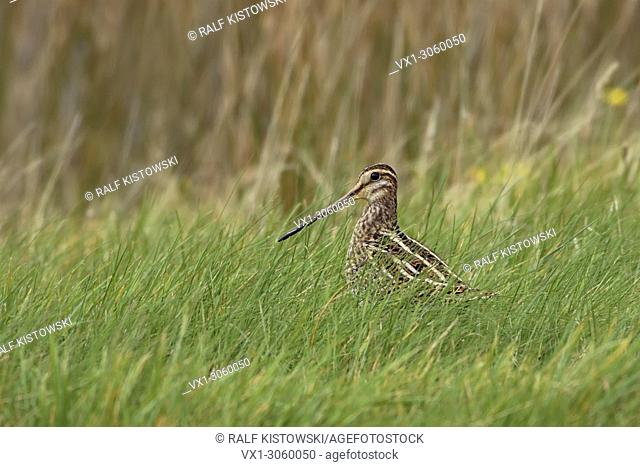 Common Snipe ( Gallinago gallinago ) sitting in grass of a wet meadow, in its typical habitat, nice side view, wildlife, Europe