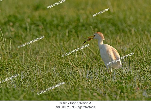 Cattle Egret (Bubulcus ibis) has caught a Southern Hawker or Blue Hawker (Aeshna cyanea) in a wetland marsh, France, Camargue