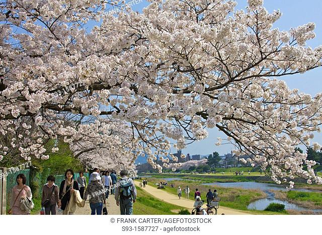Cherry blossom trees in full bloom hanging over a path beside the Kamogamo river