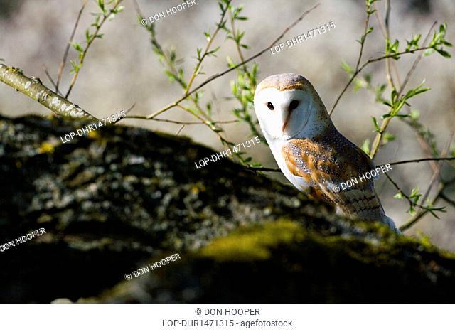 England, Wiltshire, Reybridge. A Barn Owl perching on a branch