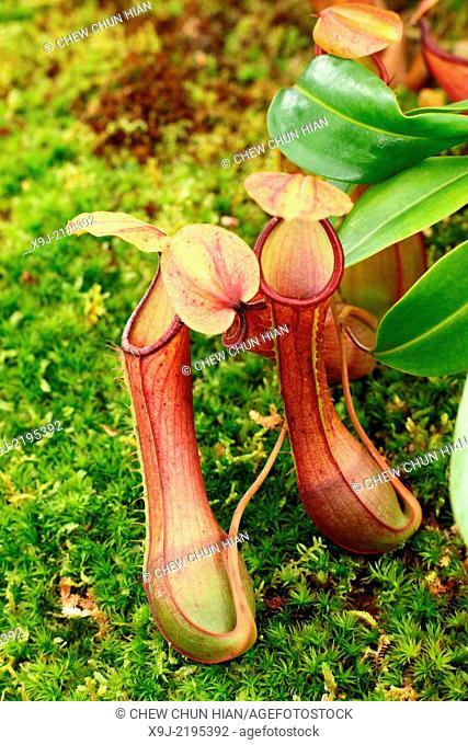 Pitcher Plant, Nepenthes Hispida, Borneo