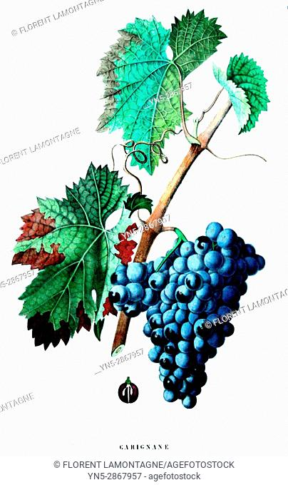 Old botanical board of the grappe species Carignan or Carignane