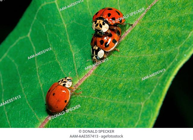 Asian Lady Beetles mating (Harmonia axyrids) 2nd male approaches+
