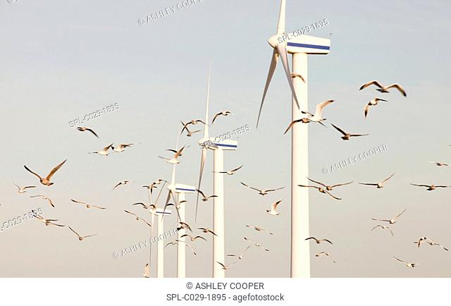 Wind turbines on the west coast of Cumbria near Workington, Cumbria, Up, with a flock of Herring Gulls flying past
