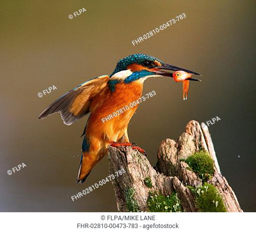 Common Kingfisher Alcedo atthis adult, with goldfish in beak, landing on post, Worcestershire, England, october