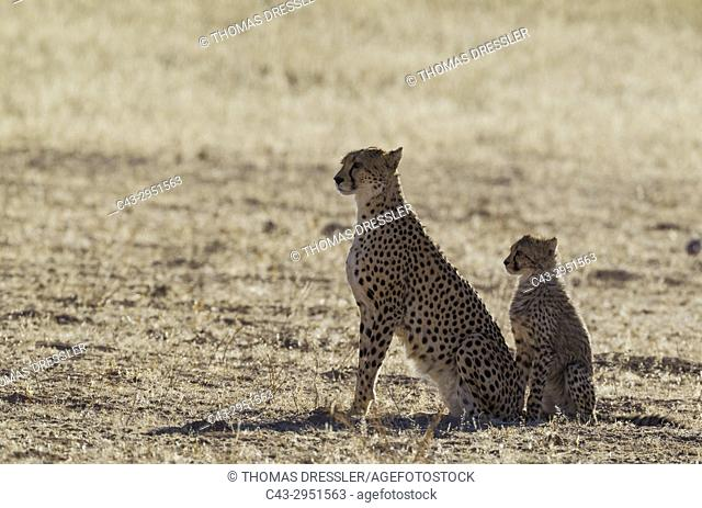 Cheetah (Acinonyx jubatus). Female with cub. Kalahari Desert, Kgalagadi Transfrontier Park, South Africa