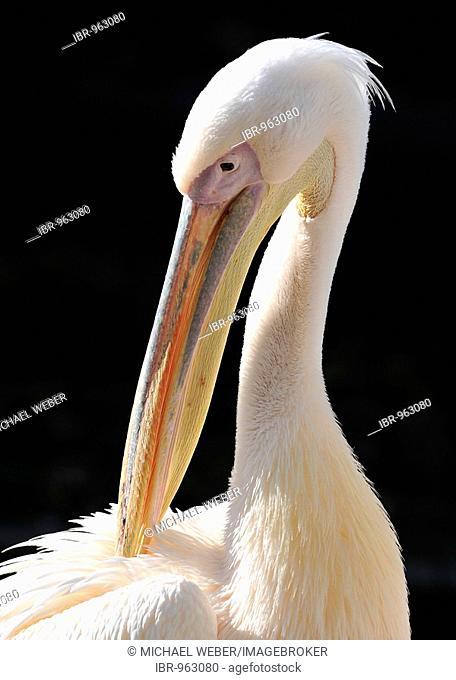 White or Eastern White Pelican (Pelecanus onocrotalus), preening its plumage
