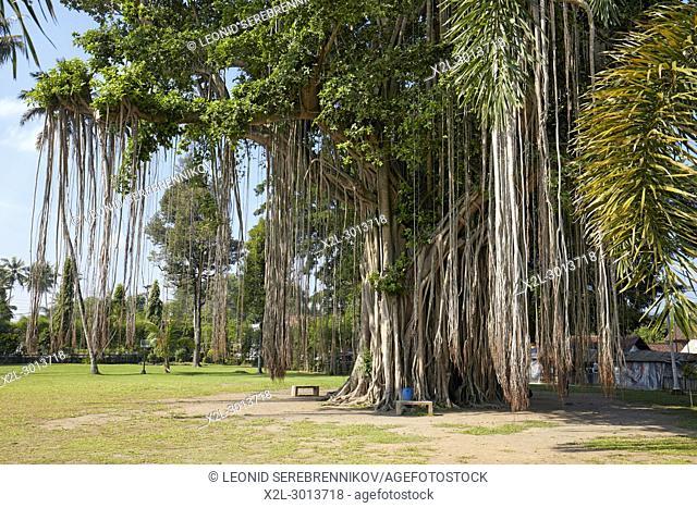 Giant Banyan tree (Ficus benghalensis) growing next to Mendut Temple. Magelang Regency, Java, Indonesia