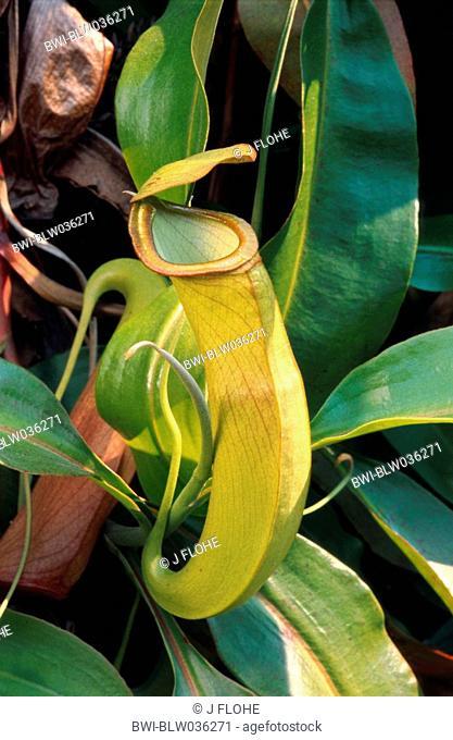 pitcher plant Nepenthes albomarginata, tubular shaped leaf, China, Hong Kong