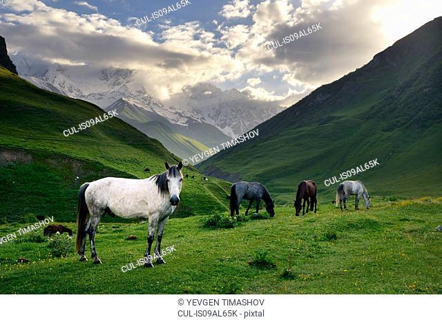 Horses grazing in valley, Ushguli village, Svaneti, Georgia