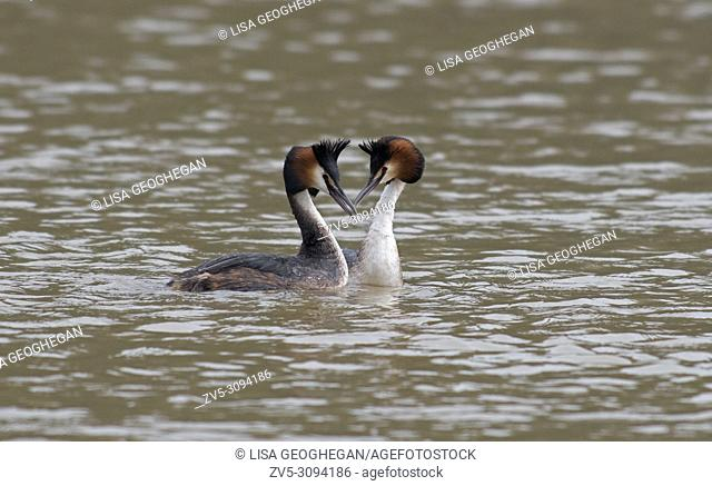 Great Crested Grebes-Podiceps cristatus display courtship. Uk