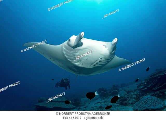 Manta ray (Manta birostris), swimming over coral reef, diver observing, Lhaviyani Atoll, Maldives