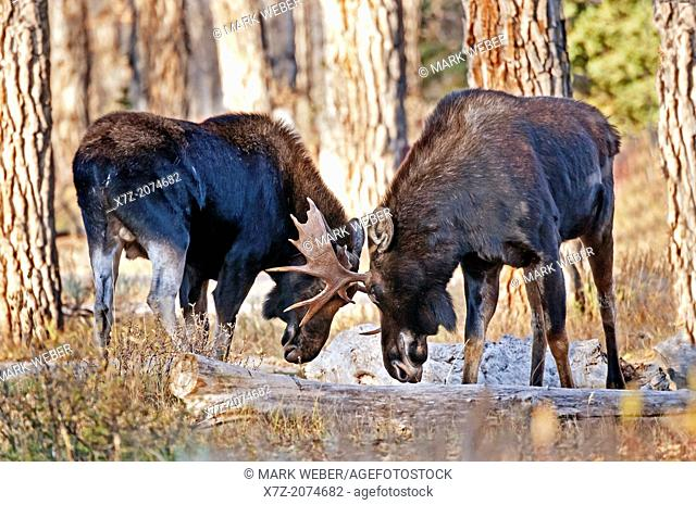 Tetons, Bull Moose spar in the forest along the Gros Ventre River in Grand Teton National Park in northern Wyoming
