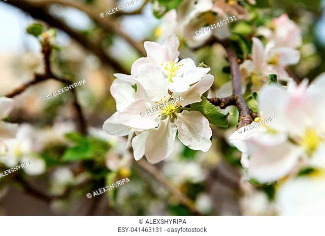 Close-up of a blooming apple, flowers on a branch on a fresh spring background