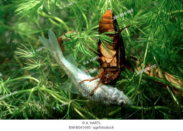 Great diving beetle (Dytiscus marginalis), with captured teleost fish, Germany, Bavaria