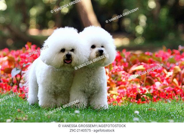 Dog Bichon Frise / two adult standing in a park