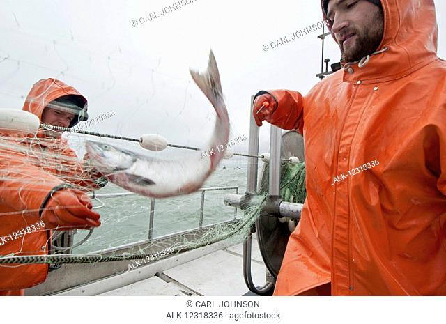 A drift boat crew picks sockeye salmon from a gillnet during an opener in the Naknek District in Bristol Bay, Southwest Alaska, USA