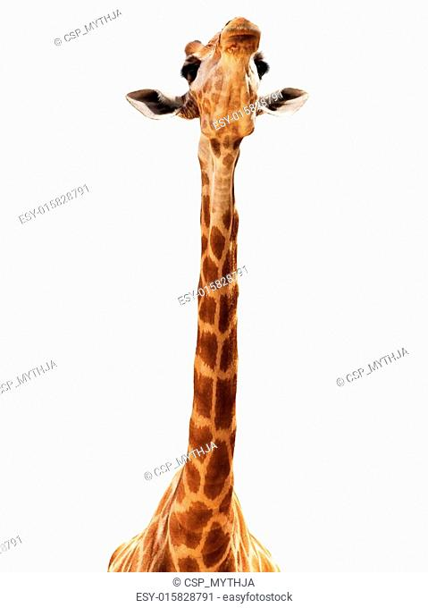 Giraffe head isolate on white