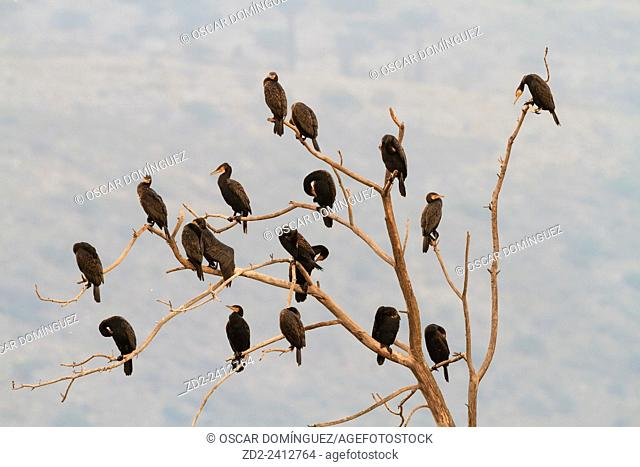 Great Cormorant (Phalacrocorax carbo) group perched on tree. Hula Nature Reserve. Hula Valley. Israel
