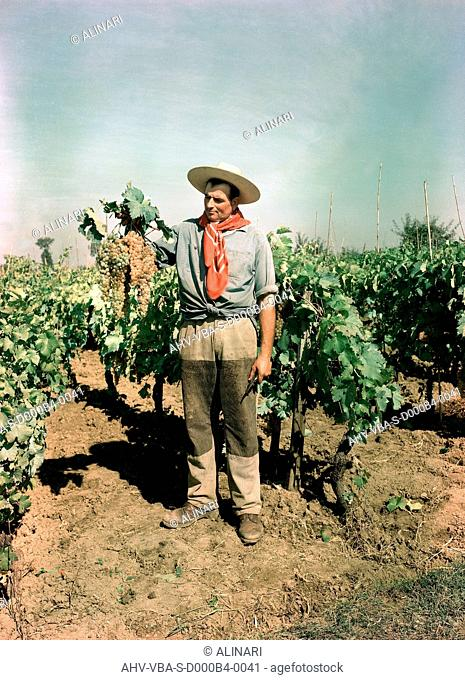 Grape harvest, Buton, shot 1960 ca. by Villani, Studio