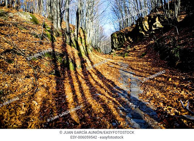 Old chesnut forest at winter beside the ancient roman road to Santa Clara, San Martin de Trevejo, Caceres, Spain