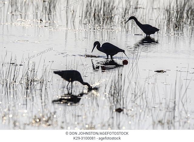 Little blue herons and snowy egrets foraging, St. Marks NWR, Florida, USA
