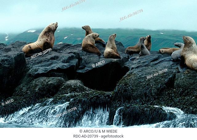 Steller's Sea Lions Aleutian Islands Alaska USA Eumetopias jubatus