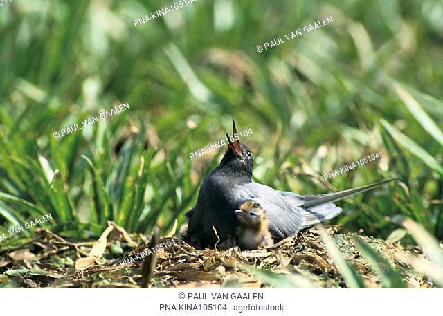 Black Tern Chlidonias niger - Narew National Park, Narwianski Park Narodowy, Northeast Poland, Podlaskie, Podlachia, Poland, Europe
