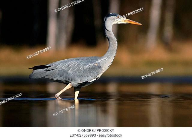 Grey Heron, Ardea cinerea, in water