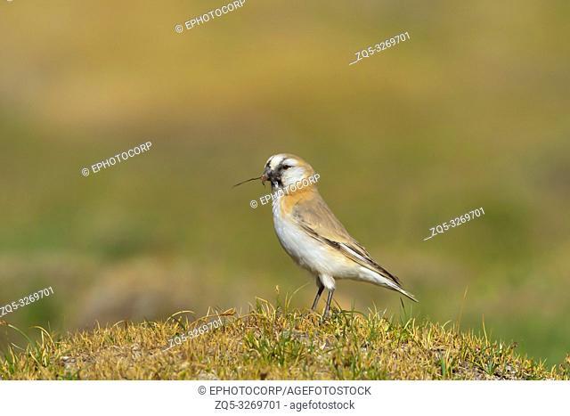 Blanford's snowfinch, Pyrgilauda blanfordi, Tso Kar, Leh Ladakh, Jammu and Kashmir, India