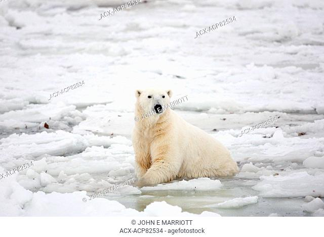 Polar bear in the sea ice in Hudson Bay, northern Manitoba, Canada