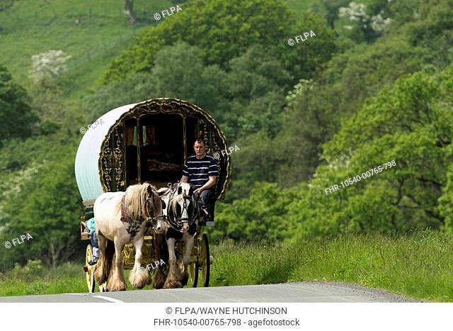 Horse, Irish Cob (Gypsy Pony), pulling traveller caravan, heading towards Appleby Horse Fair, along A683 between Sedbergh and Kirkby Stephen, Cumbria, England