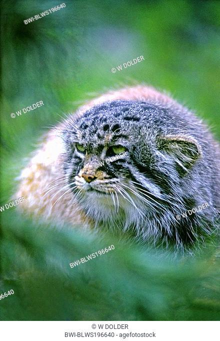 Pallas's cat Felis manul, portrait