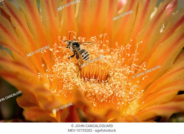 Native Bee - on fishhook barrel cactus blossum (Ferocactus wislizeni)