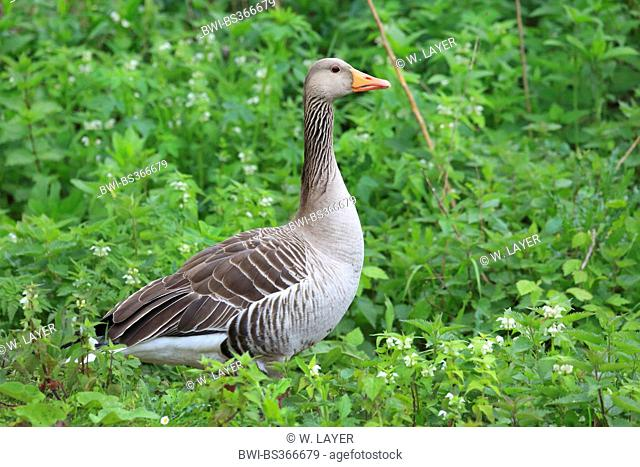 greylag goose (Anser anser), in a meadow with flowering dead-nettles, Germany