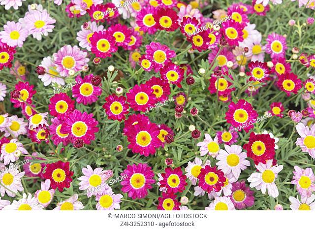 Meteor Red Daisies and Pink Daisies field, Liguria, Italy;