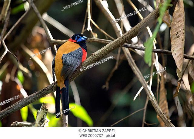 Malaysia, Borneo, Sabah, Sepilok nature reserve, Red-naped trogon perching on twig