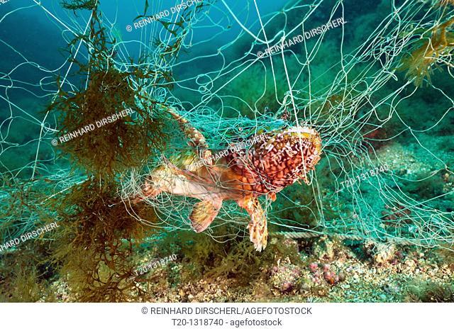 Rockfish trapped in lost Fishing Net, Scorpaena scrofa, Cap de Creus, Costa Brava, Spain
