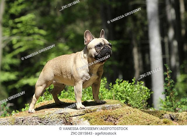 Dog French Bulldog adult standing on a tree trunk