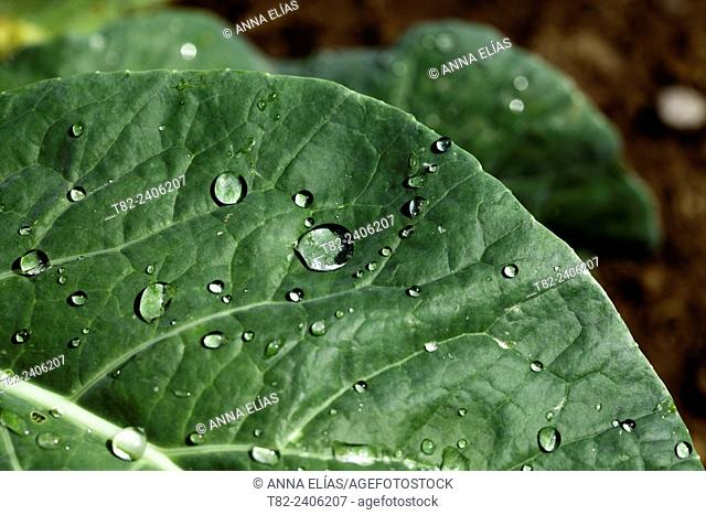 cabbage leaf and water drop, Andalucia, Spain, Europe