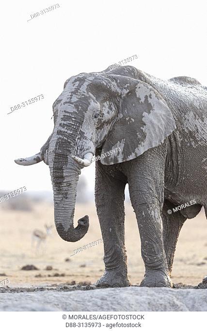 Africa, Southern Africa, Bostwana, Nxai pan national park, African bush elephant or African savanna elephant (Loxodonta africana), around a water hole